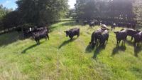 SCOTT FARM HEIFERS